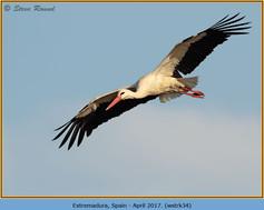 white-stork-34.jpg