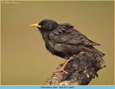 spotless-starling-07.jpg