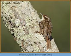 short-toed-treecreeper-02.jpg