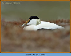 eider-duck- 67.jpg