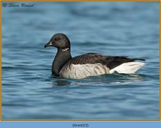brent-goose-23.jpg