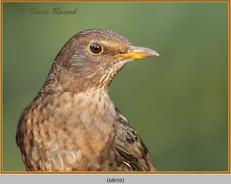 blackbird-59.jpg