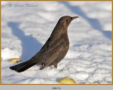 blackbird-71.jpg