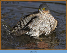 sparrowhawk-36.jpg