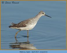 marsh-sandpiper-12.jpg