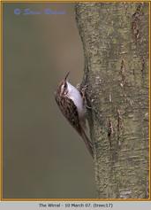treecreeper-17.jpg