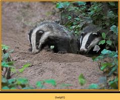 badger-05.jpg