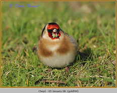goldfinch-44.jpg
