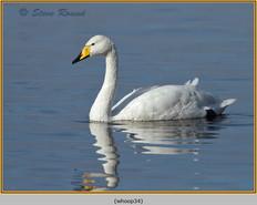 whooper-swan-34.jpg