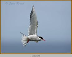 arctic-tern-40.jpg
