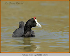 red-knobbed-coot-05.jpg