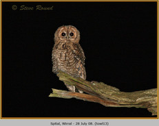 tawny-owl-13.jpg