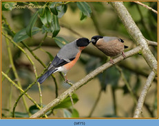 bullfinch-75.jpg
