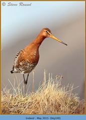 black-tailed-godwit-109.jpg
