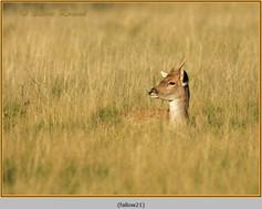 fallow-deer-21.jpg