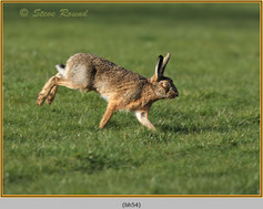 brown-hare-54.jpg