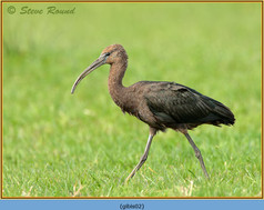 glossy-ibis-02.jpg