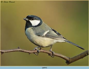 Great Tit, Parus major perched on branch