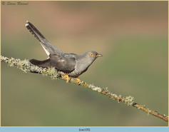 cuckoo-135.jpg