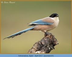 azure-winged-magpie-37.jpg