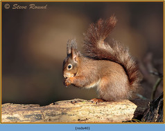 red-squirrel-40.jpg