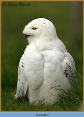 snowy-owl-01c.jpg