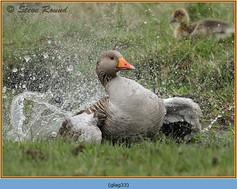 greylag-goose-33.jpg