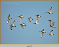 bar-tailed-godwit-07.jpg
