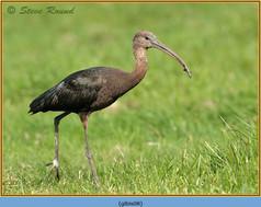 glossy-ibis-08.jpg