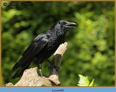 carrion-crow-48.jpg