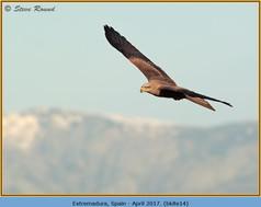 black-kite-14.jpg