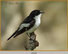 pied-flycatcher-42.jpg