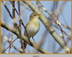 willow-warbler-25.jpg