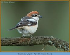 woodchat-shrike-17.jpg