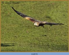 red-kite-74.jpg