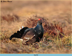 black-grouse-100.jpg