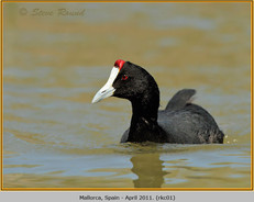 red-knobbed-coot-01.jpg