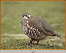 red-legged-partridge-02.jpg