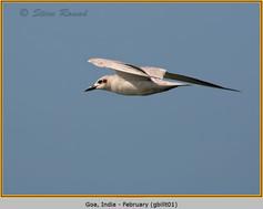 gull-billed-tern-01.jpg