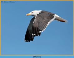 lesser-black-backed-gull-123.jpg