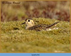golden-plover-36.jpg