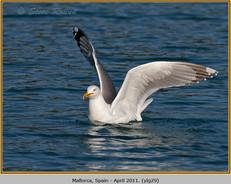 yellow-legged-gull-29.jpg