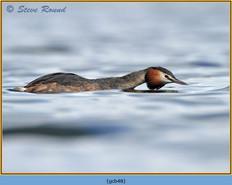 great-crested-grebe-48.jpg