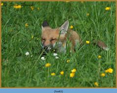 fox-83.jpg