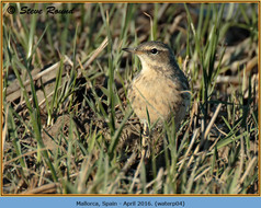 water-pipit-04.jpg