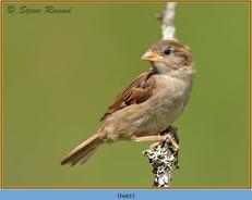 house-sparrow-61.jpg