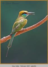 green-bee-eater-06.jpg