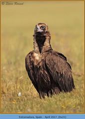 black-vulture-21.jpg