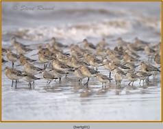 bar-tailed-godwit-01.jpg