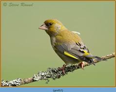 greenfinch-57.jpg